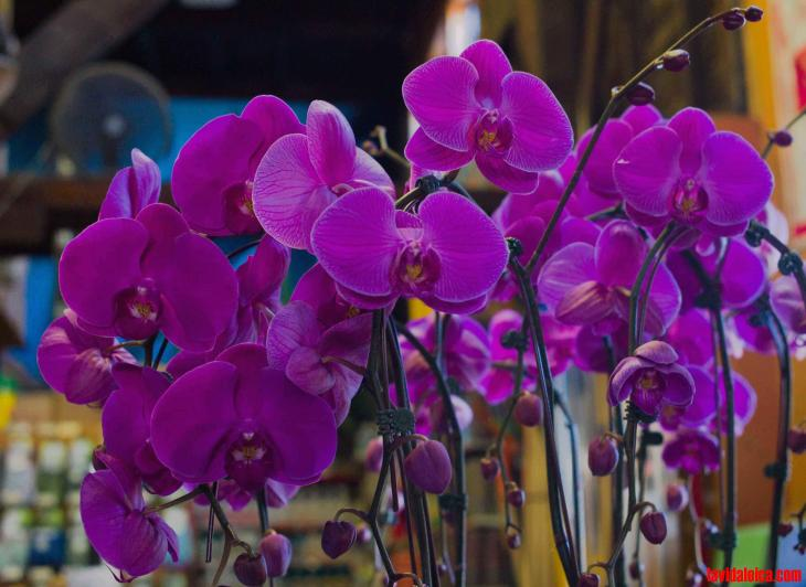 Orchids, West Hollywood, 2016 M9; Summicron-M 35mm ASPH
